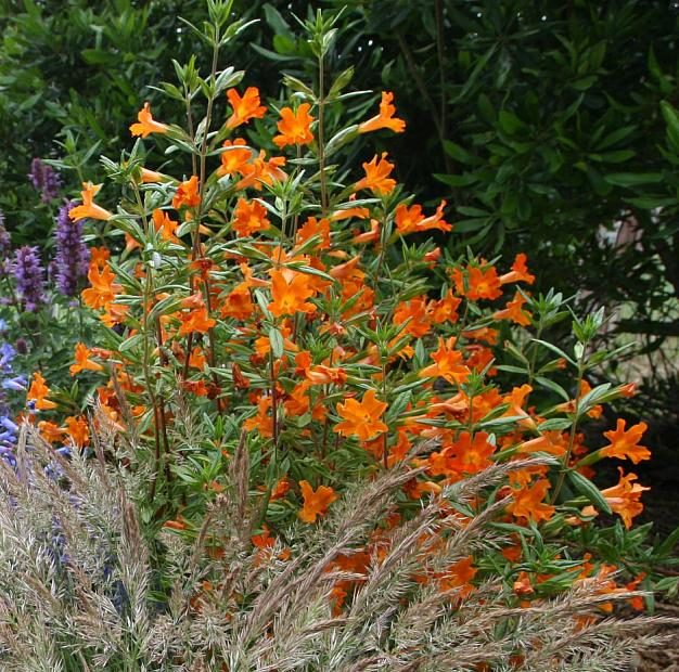 Mimulus 'Jelly Bean Orange' - Monkey flower