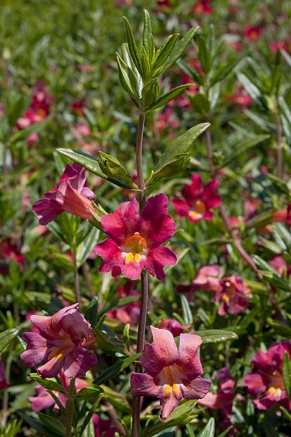 Mimulus 'Trish' - Monkey flower