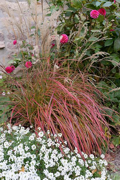 Miscanthus sinensis 'Little Miss' - Eulalia grass