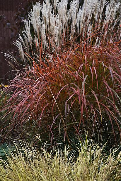 Miscanthus sinensis 'Fire Dragon' - Eulalia grass