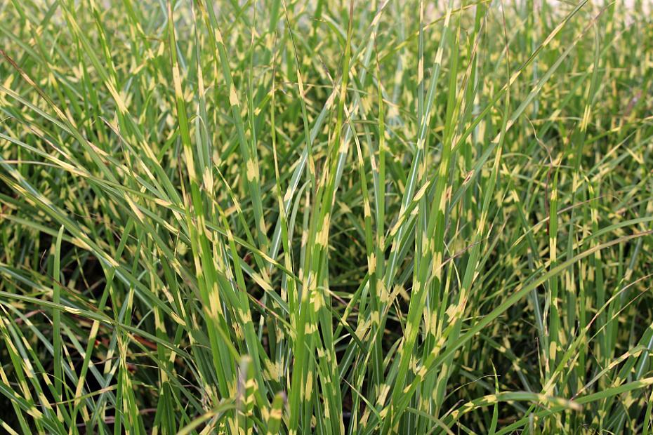 Miscanthus sinensis 'Bandwidth' - Maiden grass
