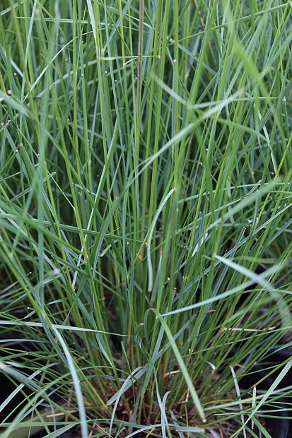Muhlenbergia capillaris - Hairy awn muhly