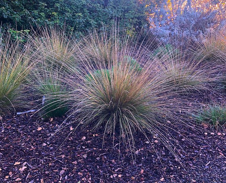 Muhlenbergia dubia - Pine muhly