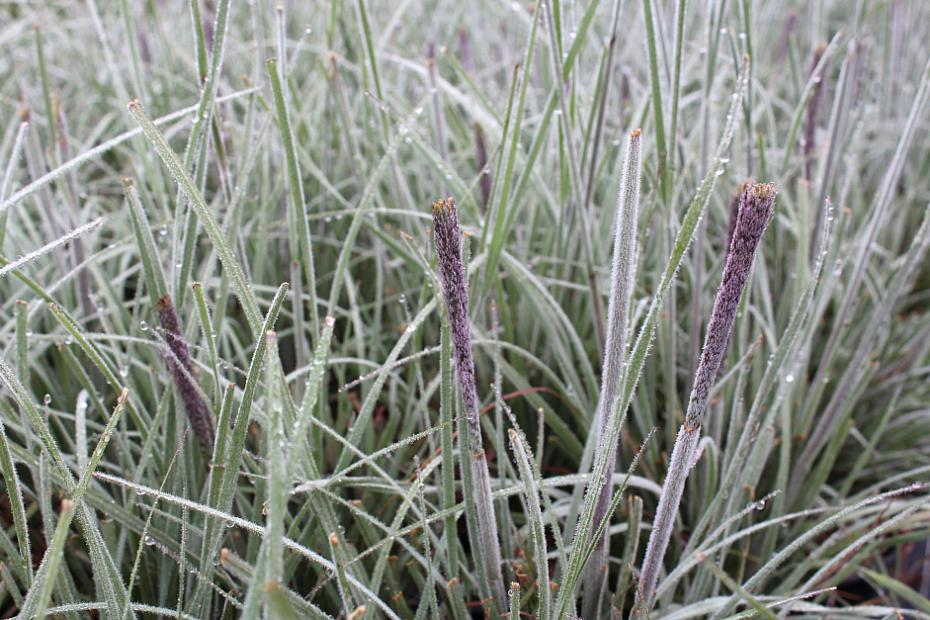 Muhlenbergia pubescens - Soft blue Mexican muhly