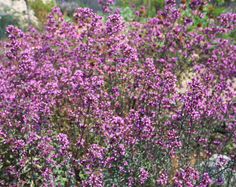 Origanum laevigatum 'Hopley's Purple' - Oregano or Marjoram
