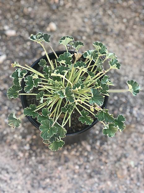 Pelargonium sidoides - Cranesbill