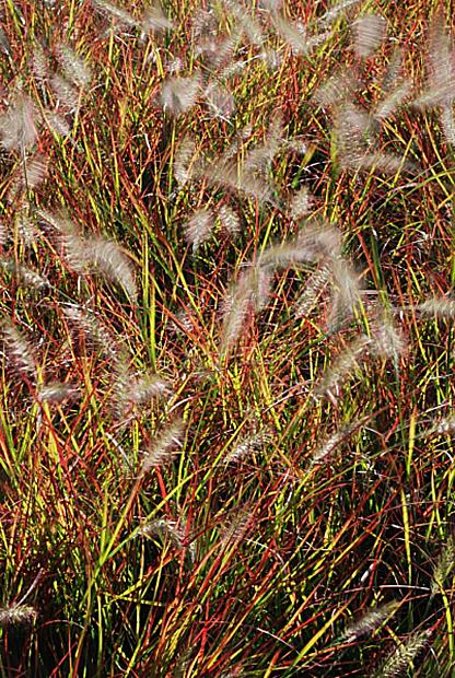 Pennisetum alopecuroides 'Burgundy Bunny' - Miniature fountain grass