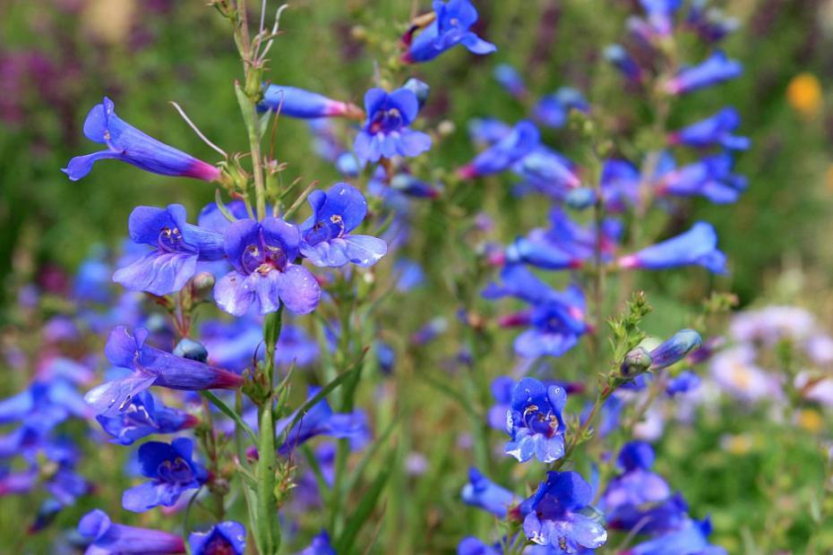 Penstemon heterophyllus 'Blue Springs' - Foothill penstemon