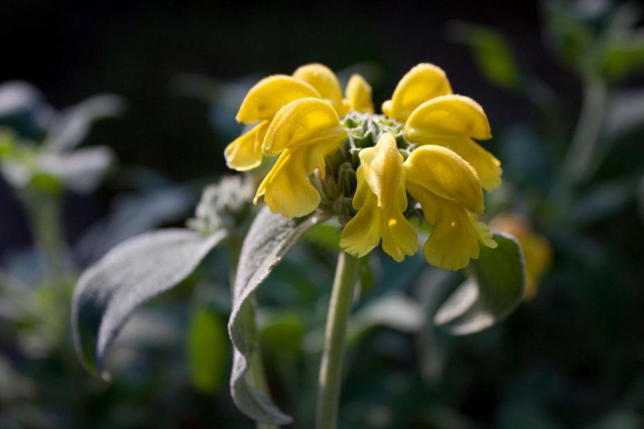 Phlomis fruticosa 'Compacta' - Compact jerusalem sage