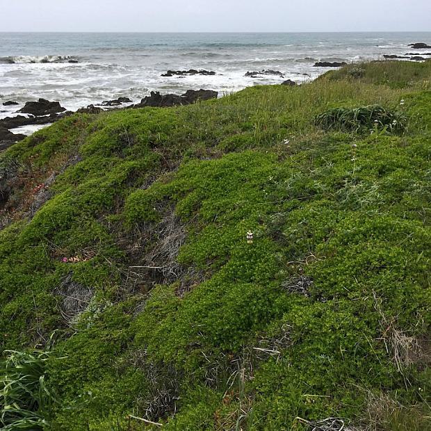 Baccharis pilularis 'Pigeon Point' - Coyote bush