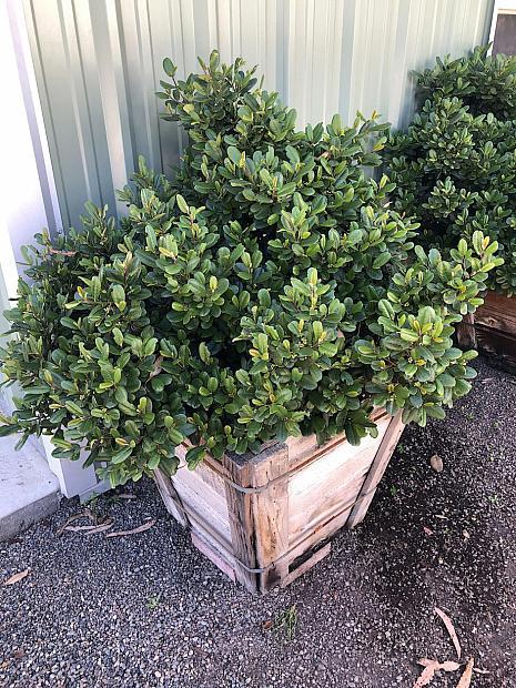 Rhamnus californica 'Leatherleaf' - Coffeeberry