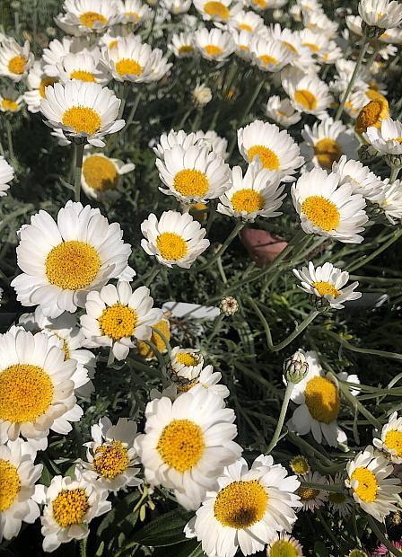 Rhodanthemum hosmariense - Moroccan daisy