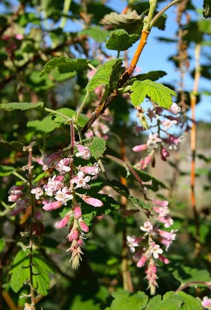 Ribes malvaceum 'Dancing Tassels' - Chapparal currant