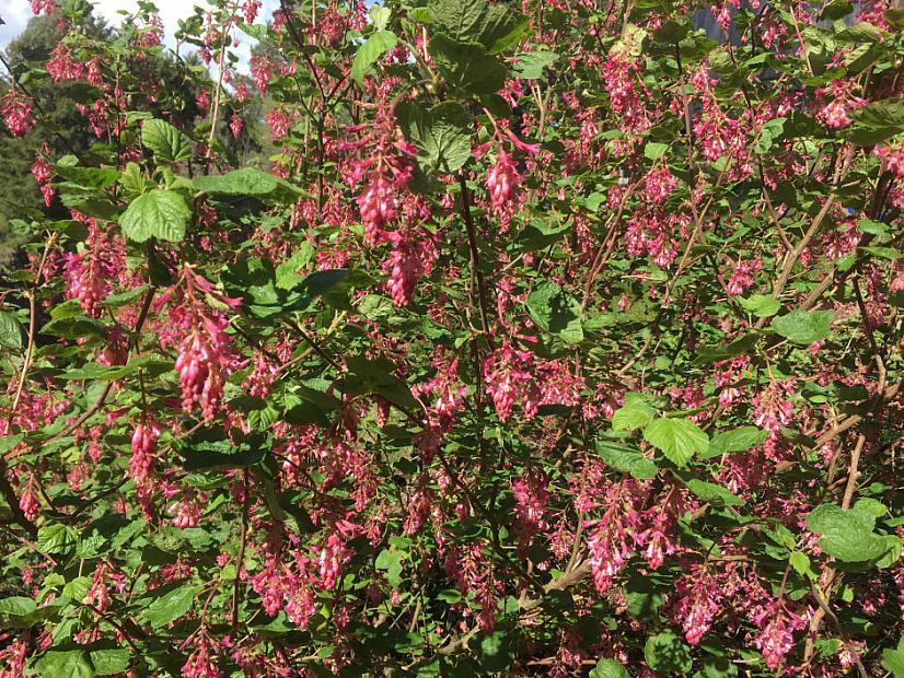 Ribes sanguineum var. glutinosum 'Tranquillon Ridge' - Chaparral currant