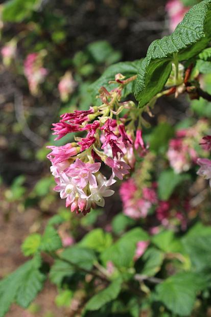 Ribes sanguineum var. glutinosum 'Claremont' - Red-flowering currant