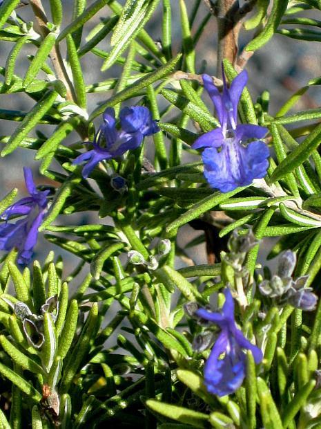 Rosmarinus officinalis 'Gold Dust' - Rosemary