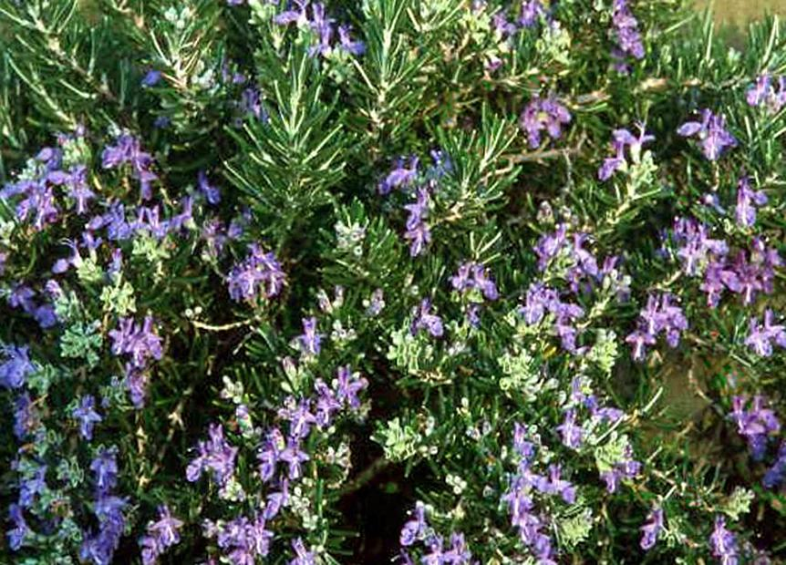 Rosmarinus officinalis 'Roman Beauty' - Rosemary