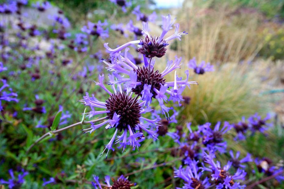 Salvia clevelandii 'Winnifred Gilman' - Blue sage
