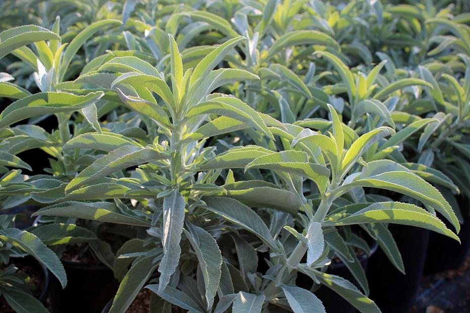 Salvia apiana var. compacta - Compact white sage