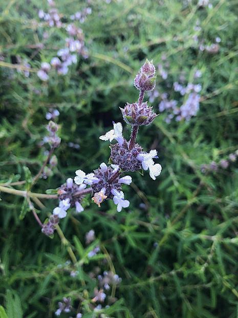 Salvia brandegeei - Brandegees sage