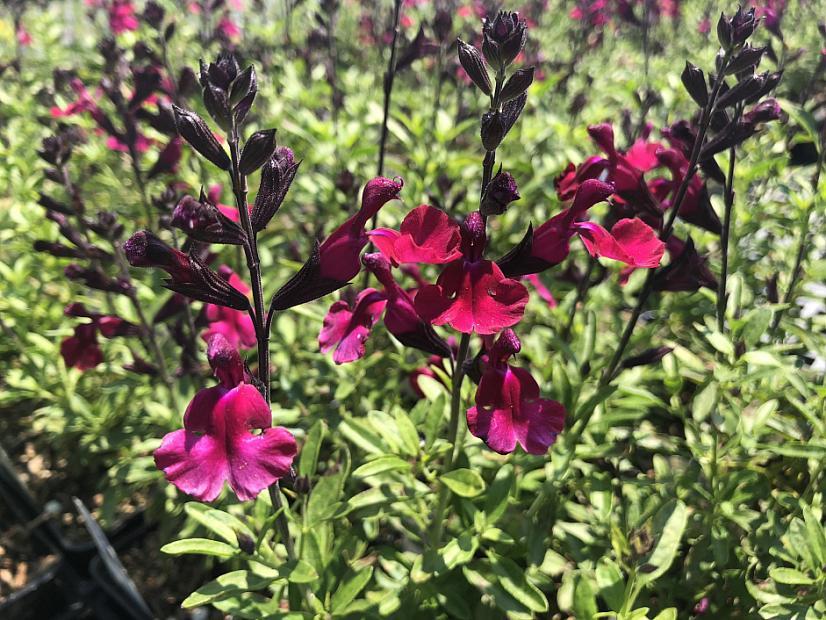 Salvia greggii 'Mirage™ Burgundy' - Sage