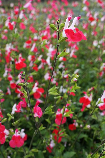 Salvia 'Hot Lips' - Sage