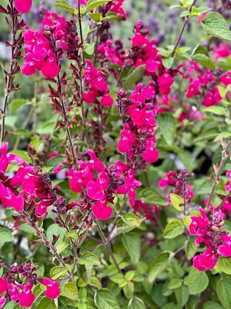 Salvia 'Pink Pong' - Hummingbird sage