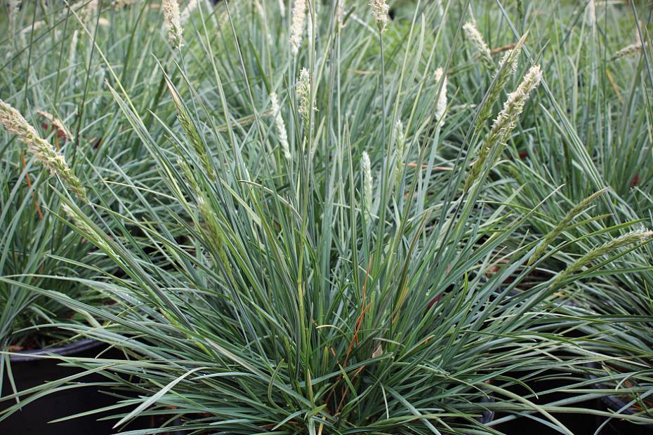 Sesleria hybrid 'Campo Azul' - Moor grass
