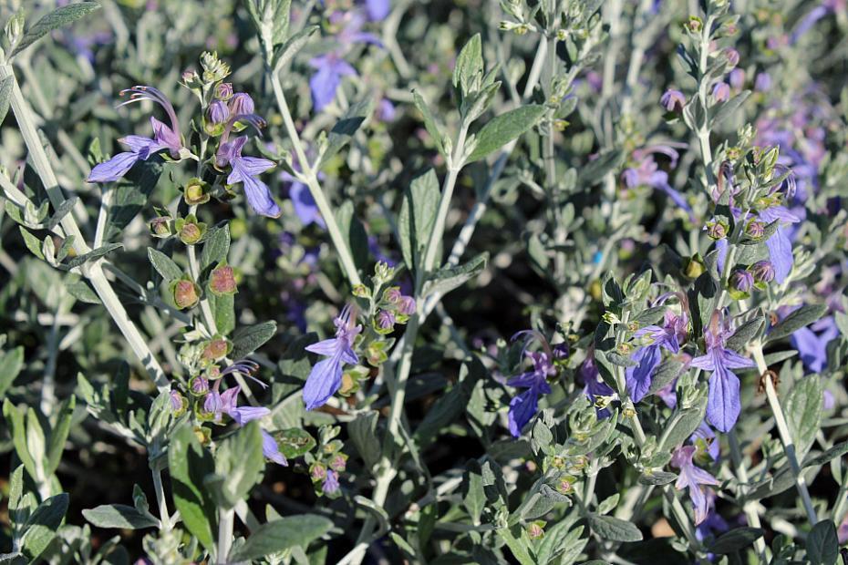 Teucrium fruticans 'Azureum' - Bush germander