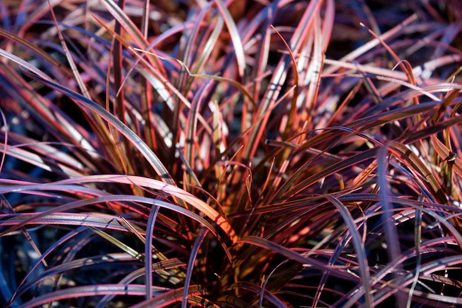 Uncinia rubra 'Belinda's Find' - Hook sedge