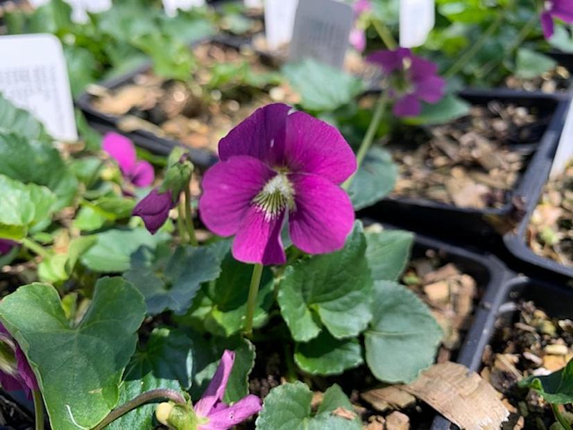 Viola sororia 'Rubra' - Woolly violet