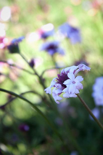 Verbena lilacina 'Paseo Rancho' - Paseo Rancho lilac vervain