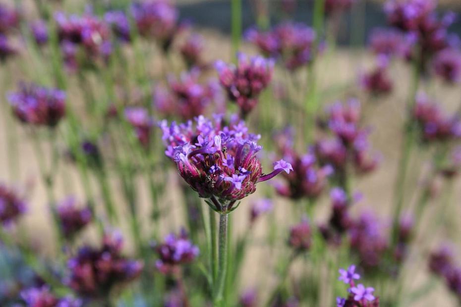 Verbena bonariensis 'Little One' - Dwarf Verbena