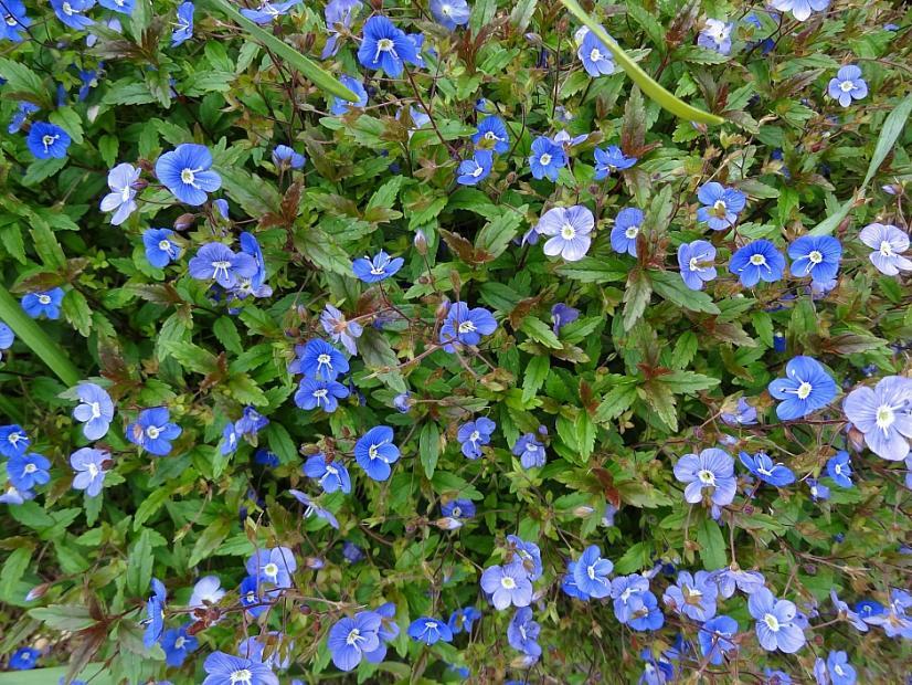 Veronica peduncularis 'Georgia Blue' - Speedwell