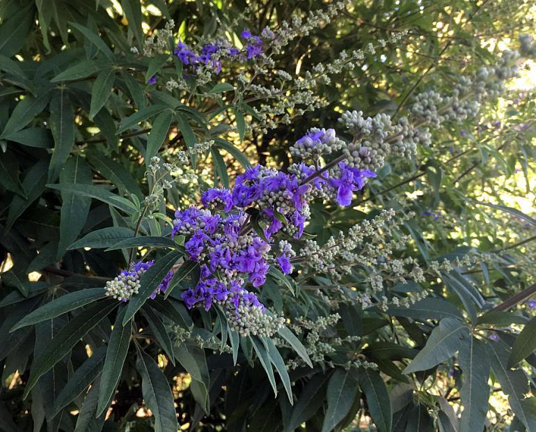 Vitex agnus-castus - Chaste tree