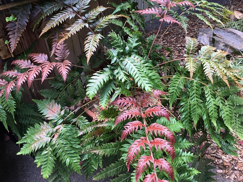 Woodwardia unigemmata - Chain fern